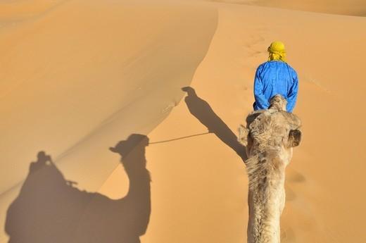 Dromedaries Camelus dromedarius, desert trekking, Erg Chebbi, Morocco, Africa : Stock Photo