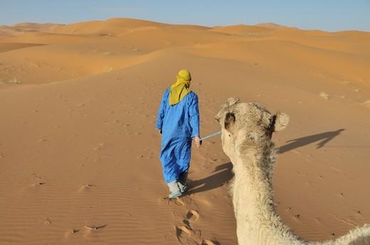 Stock Photo: 1848-484164 Dromedary Camelus dromedarius, desert trekking, Erg Chebbi, Morocco, Africa