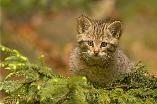 Wild Cat Felis silvestris, kitten : Stock Photo