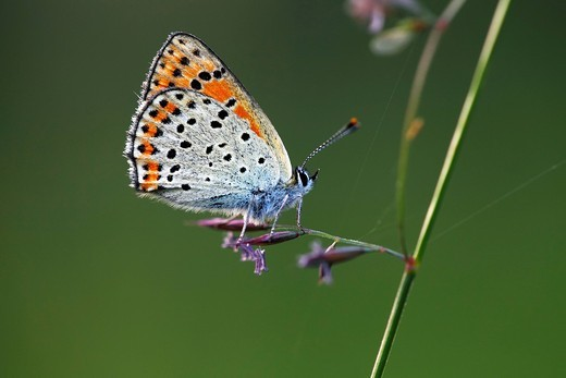 Female Sooty Copper Lycaena tityrus Heodes tityrus butterfly : Stock Photo