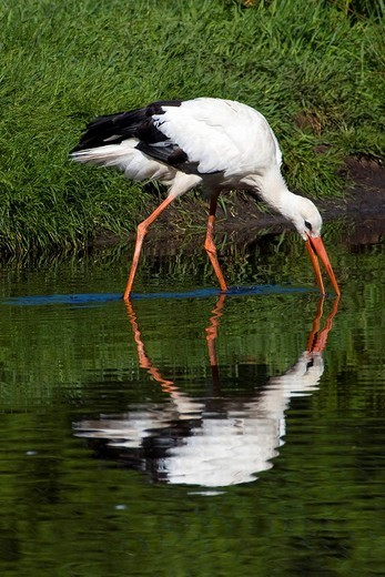 White Stork Ciconia ciconia, Adebar, hunting in a pond : Stock Photo