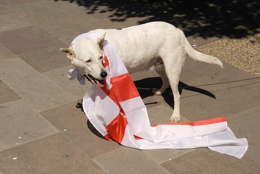 Stock Photo: 1848-484539 Fan, dog with flag, Football World Cup, Bristol, England, United Kingdom, Europe