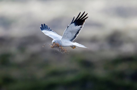 Stock Photo: 1848-484612 Hen harrier Circus cyaneus, male