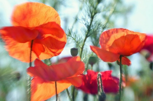 Corn Poppies Papaver rhoeas on a summer meadow : Stock Photo
