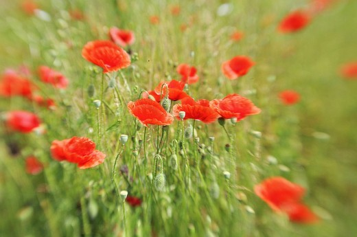 Stock Photo: 1848-484936 Corn Poppies Papaver rhoeas on a summer meadow