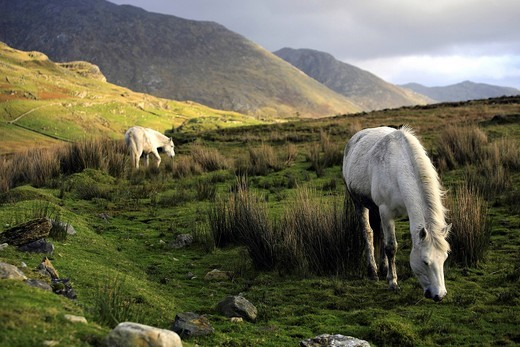Stock Photo: 1848-487839 Connemara Ponies, Maumturk Mountains, Connemara, County Galway, Republic of Ireland, Europe