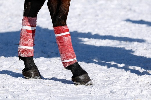 Polo horse with red bandages, Snow Arena Polo World Cup 2010 polo tournament, Kitzbuehel, Tyrol, Austria, Europe : Stock Photo