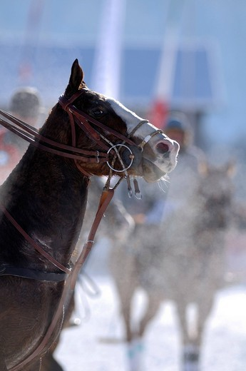 Snorting Polo horse, Snow Arena Polo World Cup 2010 polo tournament, Kitzbuehel, Tyrol, Austria, Europe : Stock Photo