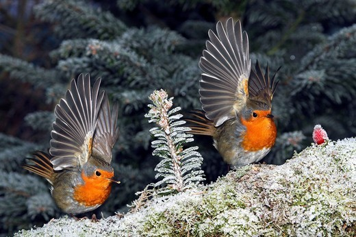 Stock Photo: 1848-48850 European Robins Erithacus rubecula, feeding in winter