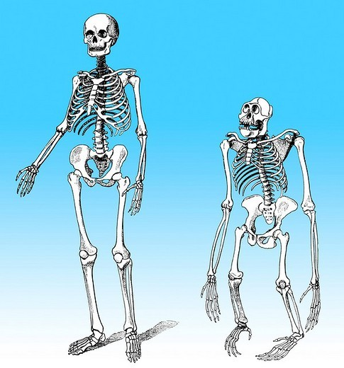 Stock Photo: 1848-48878 Comparison of the skeletons of man and gorilla, evolution of mankind, relation between mankind and ape, theorie of evolution