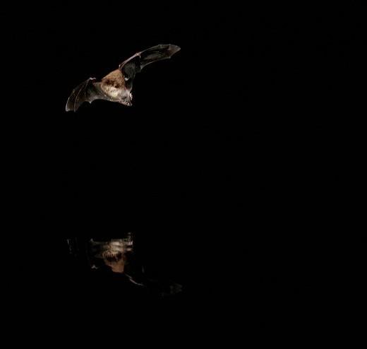 Daubenton´s bat Myotis daubentonii : Stock Photo
