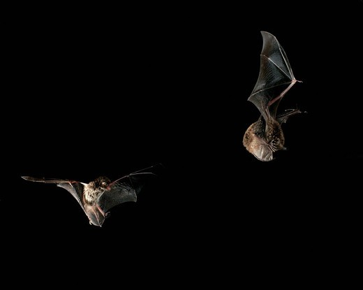 Daubenton´s bat Myotis daubentonii : Stock Photo