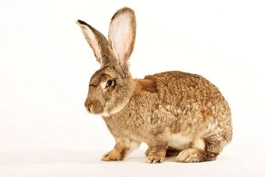 German Giant, giant rabbits : Stock Photo