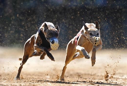 Stock Photo: 1848-491315 Greyhound racing, greyhounds, Sachsenheim, Baden_Wuerttemberg, Germany, Europe