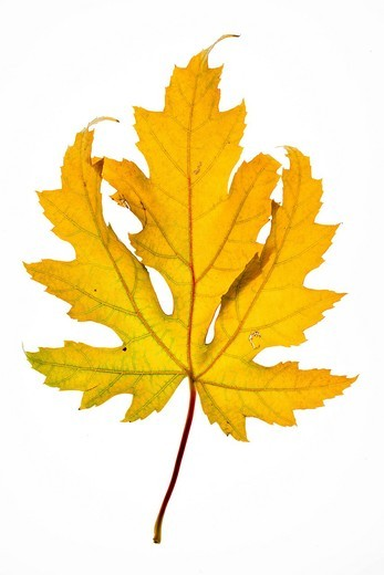 Stock Photo: 1848-491800 Maple Acer leaf in autumn