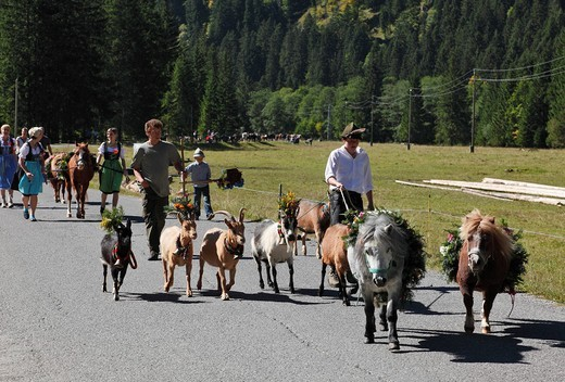 Stock Photo: 1848-492137 Decorated goats and ponies, cattle drive, Tannheim, Tannheimer Tal high valley, Tyrol, Austria, Europe