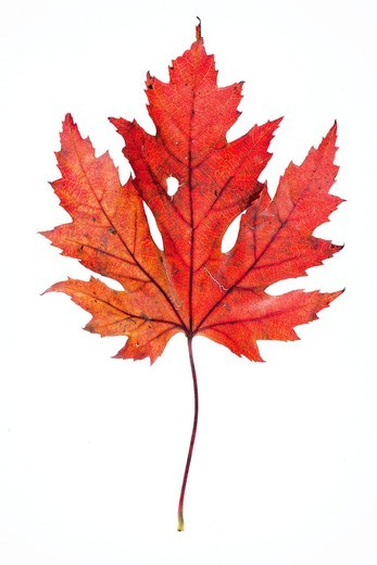 Maple Acer leaf in autumn : Stock Photo