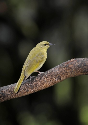 Stock Photo: 1848-49405 Yellow Honeyeater Lichenostomus flavus, Queensland, Australia