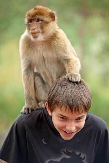 A Barbary Macaque Macaca sylvanus sitting on the back of a boy, pulling on his hair : Stock Photo