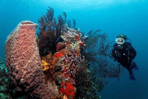 Scuba diver observing a Giant Barrel Sponge Xestospongia muta and Gorgonian, also known as Sea Whip or Sea Fan Iciligorgia schrammi on the reef top of a coral reef, Saint Lucia, Windward Islands, Lesser Antilles, Caribbean Sea : Stock Photo