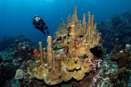 Scuba diver observing Pillar Coral Dendrogyra cylindrus, Saint Lucia, Windward Islands, Lesser Antilles, Caribbean Sea : Stock Photo