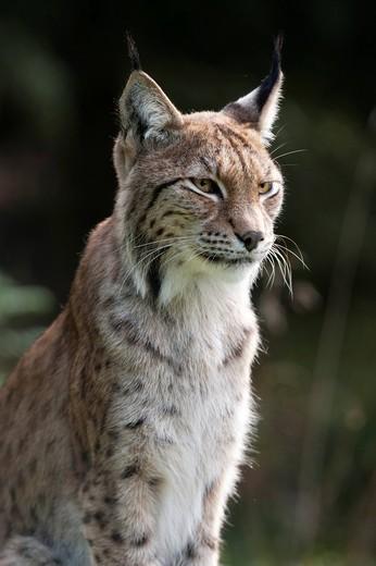 Stock Photo: 1848-496359 Eurasian lynx Lynx lynx, female, portrait, Sweden, Europe