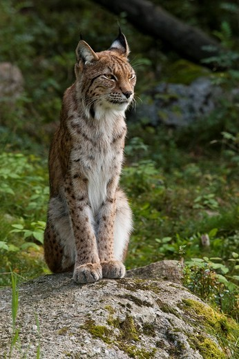Stock Photo: 1848-496360 Eurasian lynx Lynx lynx, female, Sweden, Europe