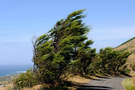 Trees in the wind on Ponta da Restinga on the island of Graciosa, Azores, Portugal : Stock Photo