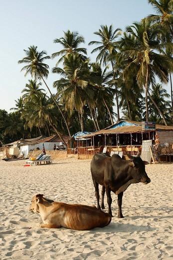 Stock Photo: 1848-49778 Holy cows on the beach, Palolem, Goa, India