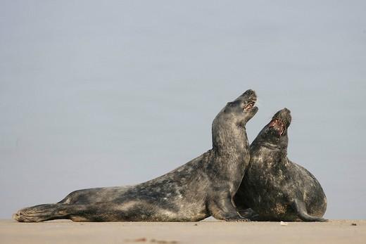 Grey seals Halichoerus grypus on the beach : Stock Photo