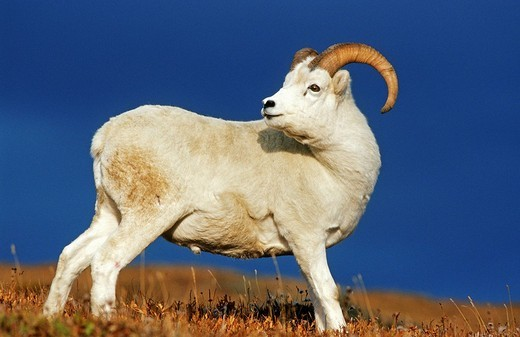 Dall Sheep ram Ovis dalli, Denali N.P., Alaska : Stock Photo