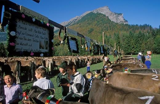 Cattle market Bregenzer Wald Vorarlberg Austria : Stock Photo
