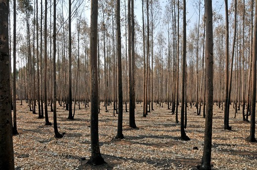 Eucalyptus forest Eucalyptus, black trunks because of slash and burn, Swaziland, South Africa : Stock Photo