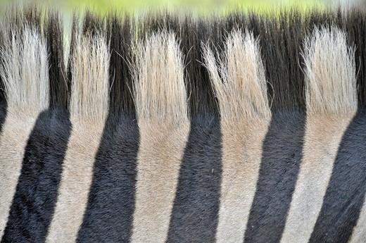 Zebra stripes, mane, coat, and comb Equus quagga, Hluhluew_Imfolozi Park in South Africa, Africa : Stock Photo