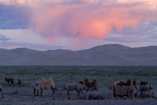 Camel herd in the evening light in front of the great sand dunes of Khorgoryn Els in the Gobi Desert, Gurvan Saikhan National Park, Oemnoegov Aimak, Mongolia, Asia : Stock Photo