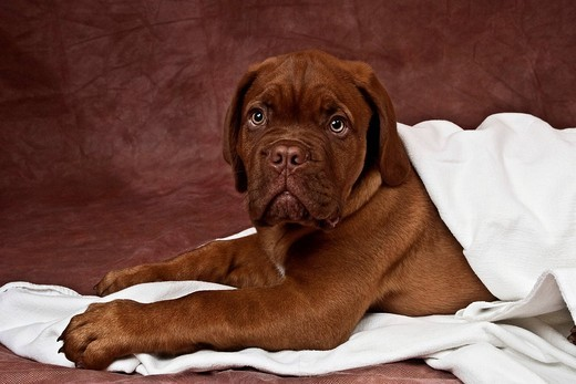 Stock Photo: 1848-529295 Bordeaux Mastiff or French Mastiff puppy wrapped in a white blanket