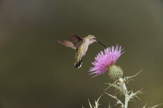 Black_chinned Hummingbird Archilochus alexandri, female feeding on Texas thistle Cirsium texanum, Chisos Basin, Chisos Mountains, Big Bend National Park, Chihuahuan Desert, West Texas, USA : Stock Photo