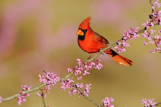 Northern Cardinal Cardinalis cardinalis, male on Eastern Redbud Cercis canadensis, Dinero, Lake Corpus Christi, South Texas, USA : Stock Photo