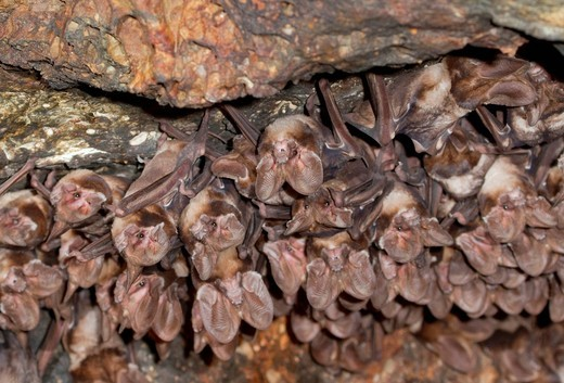 Stock Photo: 1848-529432 A colony of Large_eared Free_tailed Bats Otomops martiensseni in a cave, Naivasha area, Kenya, Africa