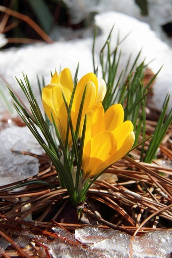 Stock Photo: 1848-529791 The first crocuses in early spring, Georgia, USA, America
