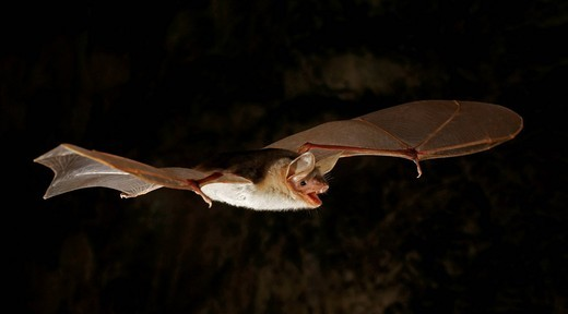 Stock Photo: 1848-530062 Lesser Mouse_Eared Bat Myotis blythii, Myotis oxygnathus