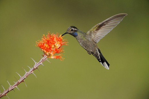 Blue_throated Hummingbird Lampornis clemenciae, male feeding on blooming Ocotillo Fouquieria splendens, Chisos Basin, Chisos Mountains, Big Bend National Park, Chihuahuan Desert, West Texas, USA : Stock Photo