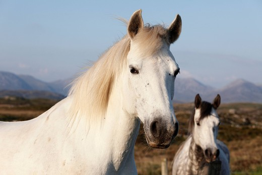 Portrait of a white horse, Connemara, County Galway, Republic of Ireland, Europe : Stock Photo
