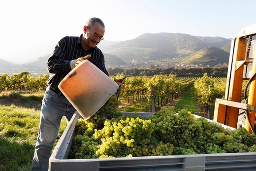 Stock Photo: 1848-531697 Harvesting grapes in Mitterarnsdorf, Wachau, Mostviertel, Must Quarter, Lower Austria, Austria, Europe