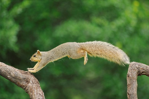 Eastern Fox Squirrel Sciurus niger, male jumping, Fennessey Ranch, Refugio, Coastal Bend, Texas Coast, USA : Stock Photo