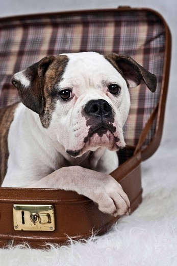 American Bulldog lying in a suitcase, portrait : Stock Photo
