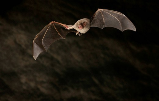 Common Bent_wing Bat or Schreiber´s Long_Fingered Bat Miniopterus schreibersii : Stock Photo