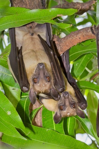 Straw_coloured Fruit Bat Eidolon helvum in a tree, Kenya, Africa : Stock Photo