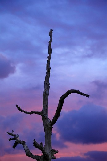 Dead tree in front of clouds, sky, dusk, blue hour, marsh area in the Zwanenwater dunes, Zijpe, North Holland, Holland, Netherlands, Europe : Stock Photo