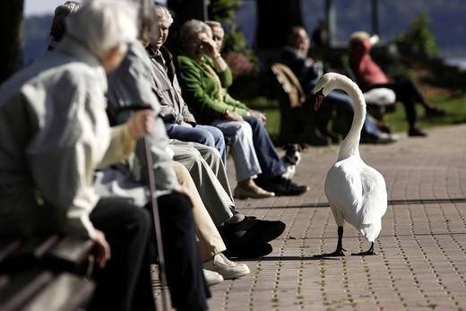 Stock Photo: 1848-533486 White swan and elderly people, Chiemgau, Upper Bavaria, Germany, Europe